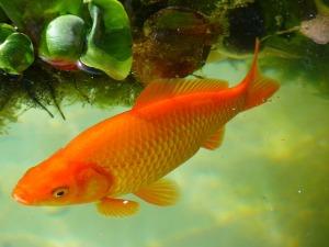 goldfish dinner