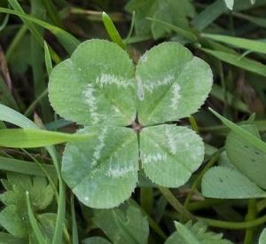 Four-leaf_Clover_Trifolium_cropped
